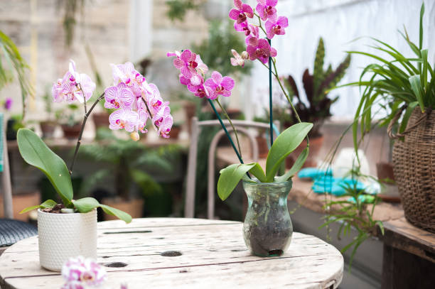 orchids in the garden. blooming orchids in a winter diy glass garden - orchidea foto e immagini stock