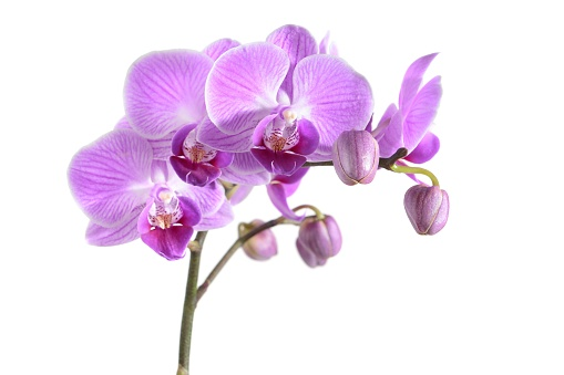 Orchid, Flower, White Background, Cut Out, Purple, phalaenopsis