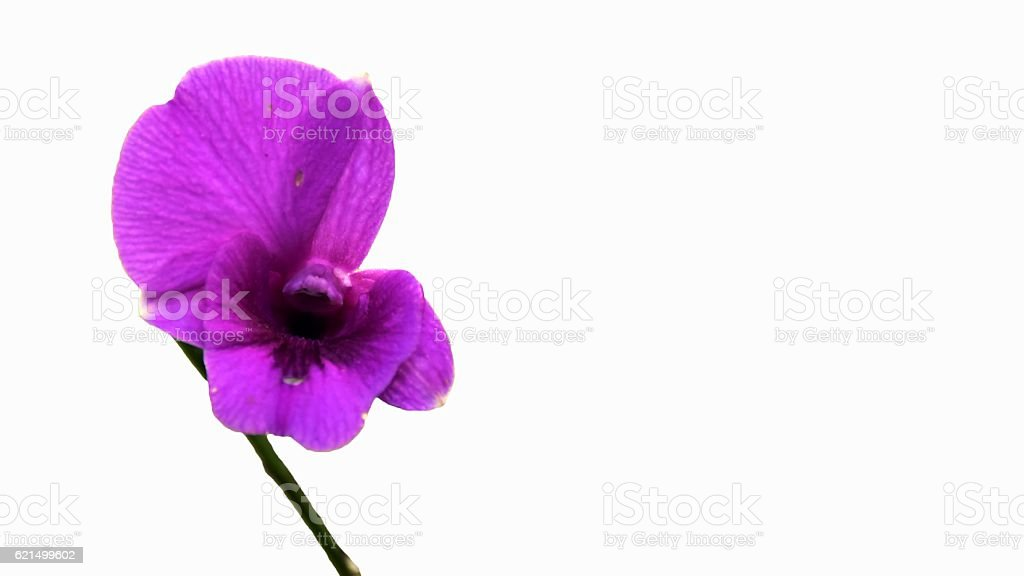 orchids purple isolated on white background foto stock royalty-free