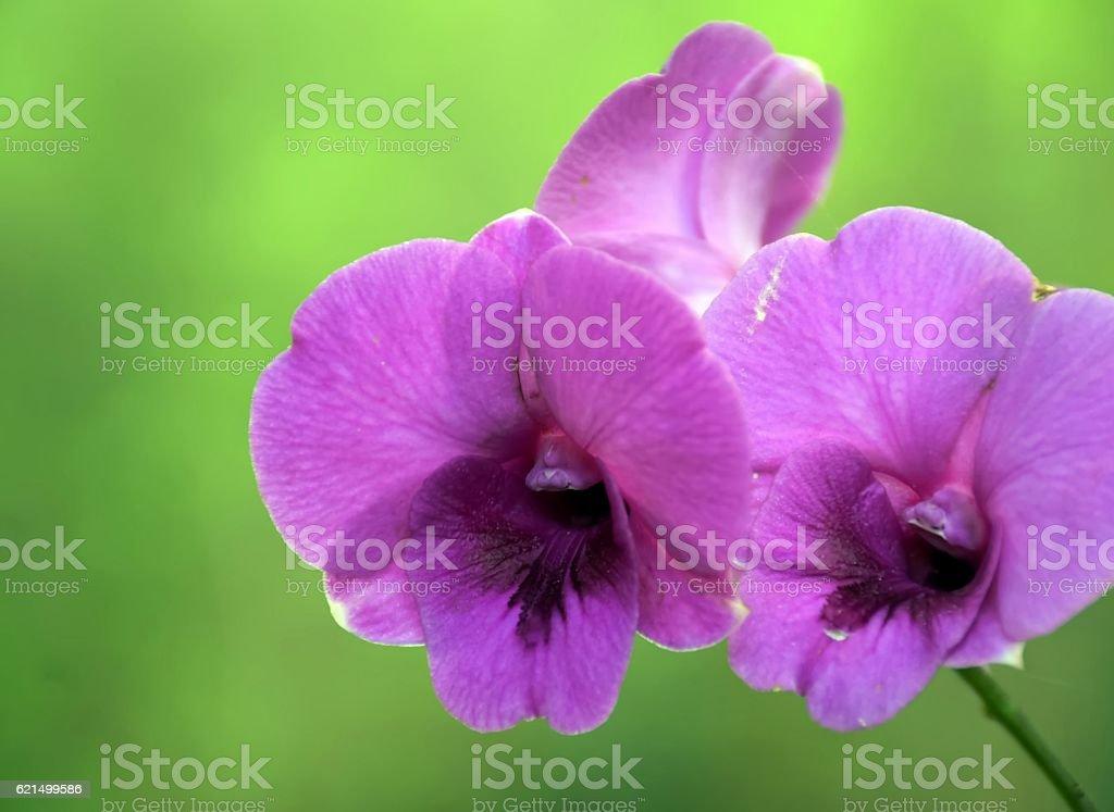 Orchidées violet photo libre de droits