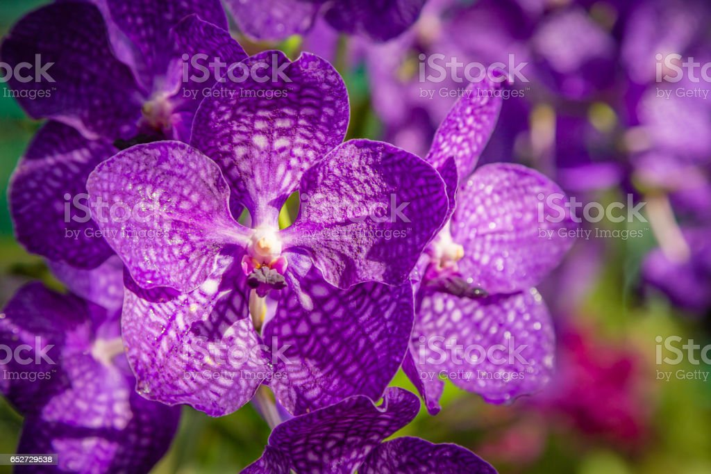 Orchids purple stock photo