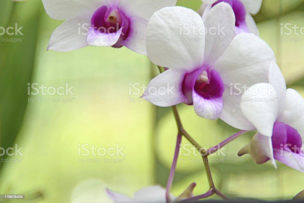 Orchids sonata foto de stock libre de derechos