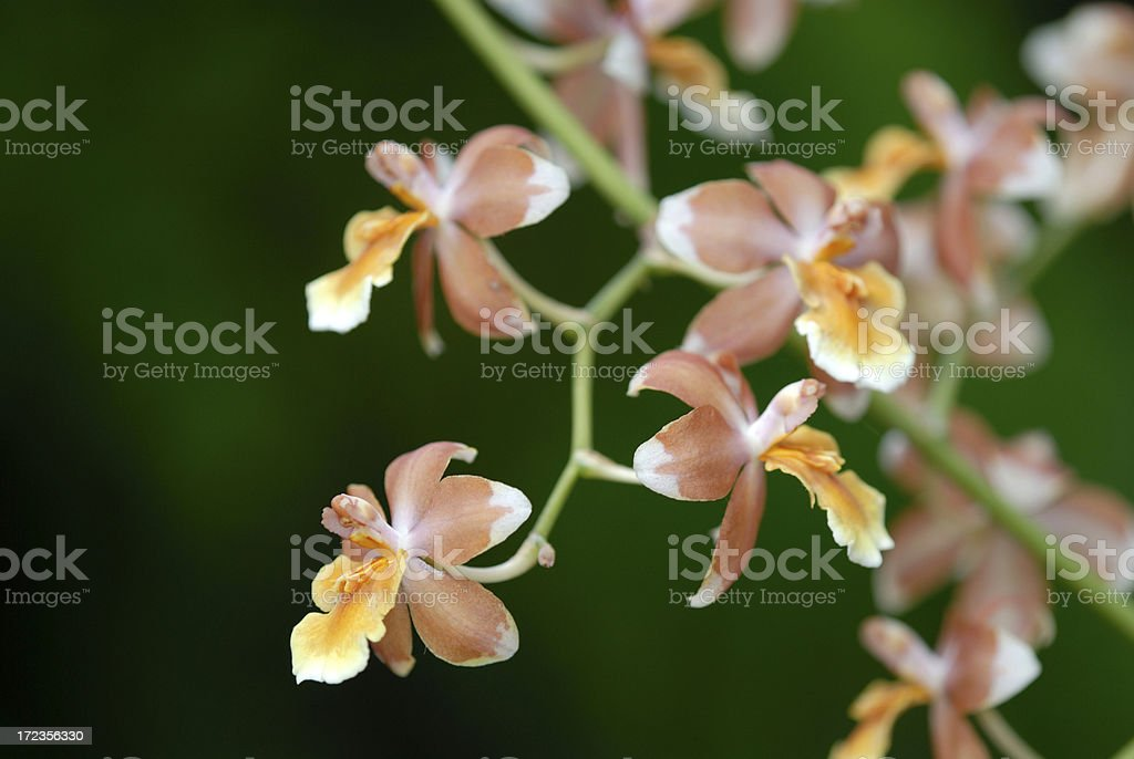 Orchids with Defocused Background royalty-free stock photo