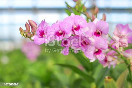 Orchids with pink petals on blurred background.