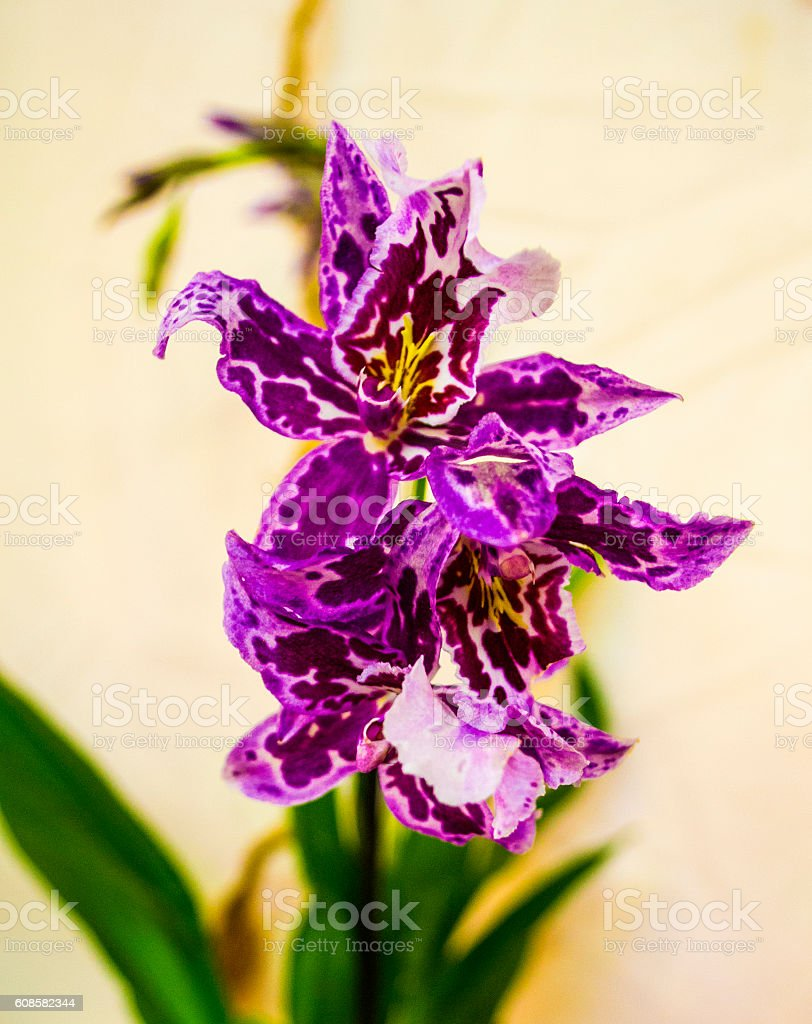 orchids,orchids purple stock photo