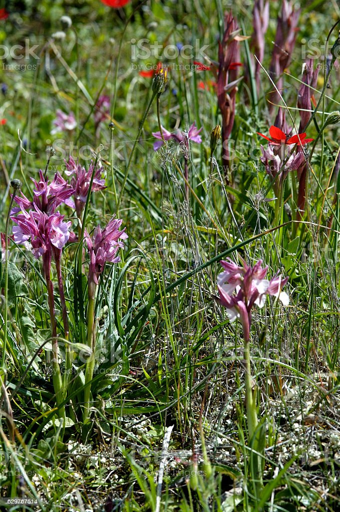 Orchis collina ( Anacamptis collina) stock photo