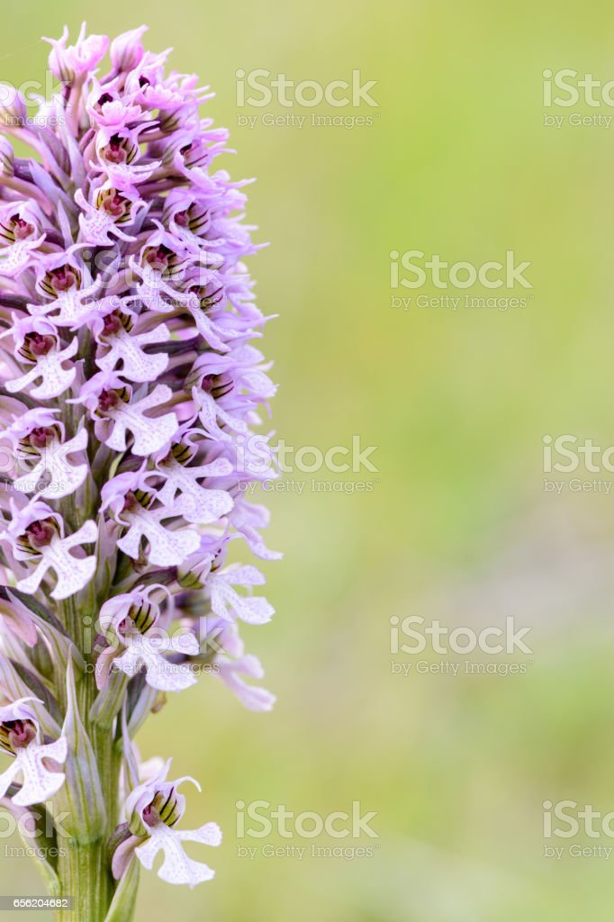 Orchis conica, Wild Orchid stock photo