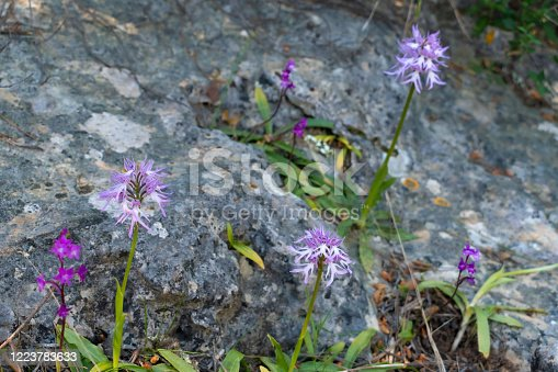 Orchis italica (naked man orchid) in natural rocky forest environment