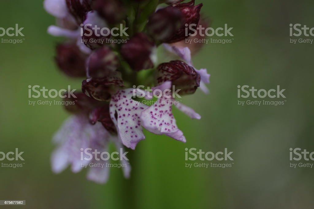 Orchis pourpré (Orchis purpurea) royalty-free stock photo