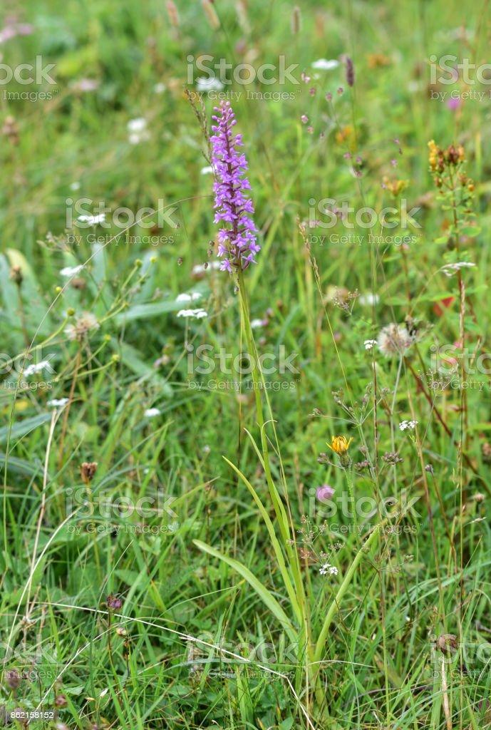 Orchis Signifera stock photo
