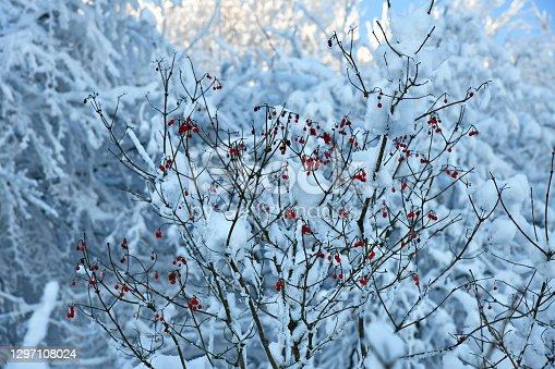 rote Früchte des Virburnum opulus