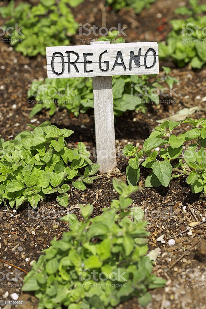 Oregano Growing in a Garden royalty-free stock photo