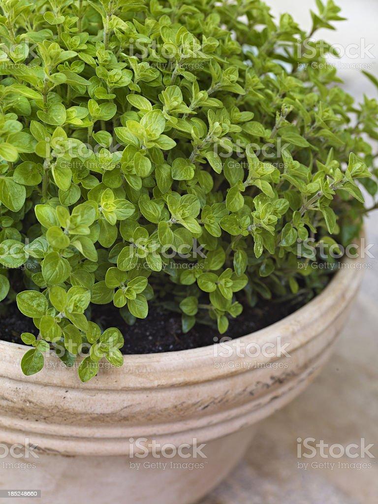 Oregano Herb royalty-free stock photo