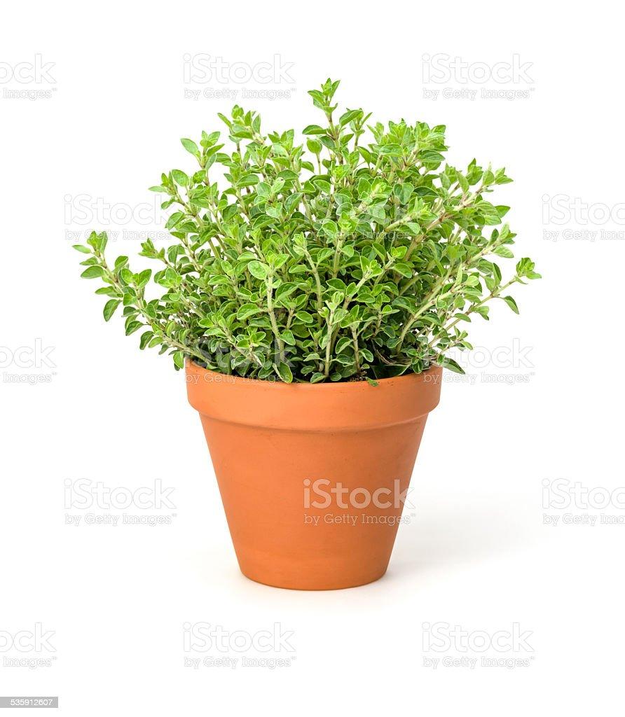 Oregano in a clay pot stock photo