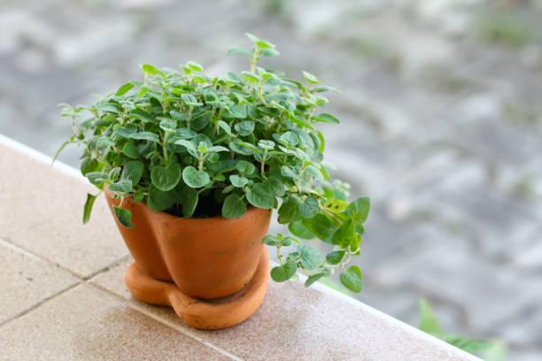 Oregano in the pot stock photo