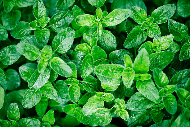oregano leaves in garden after rain oregano leaves in garden after rain, selective focus oregano stock pictures, royalty-free photos & images