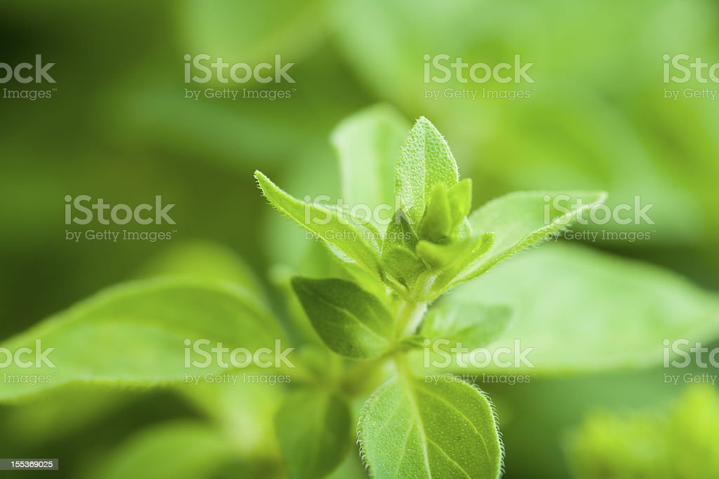 Oregano leaves royalty-free stock photo
