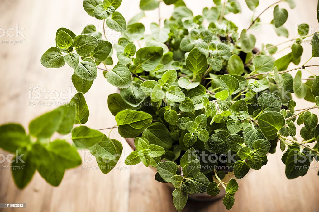 Oregano royalty-free stock photo