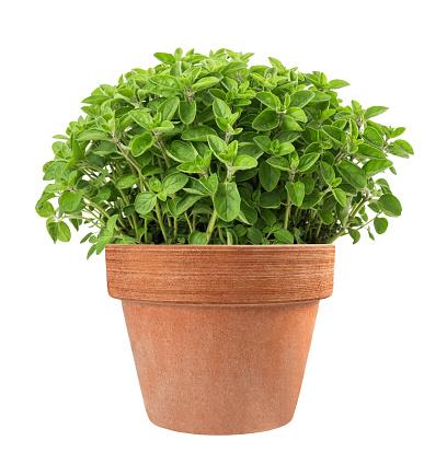 orégano plantado en casa
