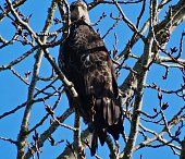 Western Oregon's Willamette Valley.\nFinley National Wildlife Refuge.\n\nA Staring Contest With A Large Bald Eagle.