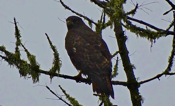 Oregon Brown Gyrfalcon stock photo