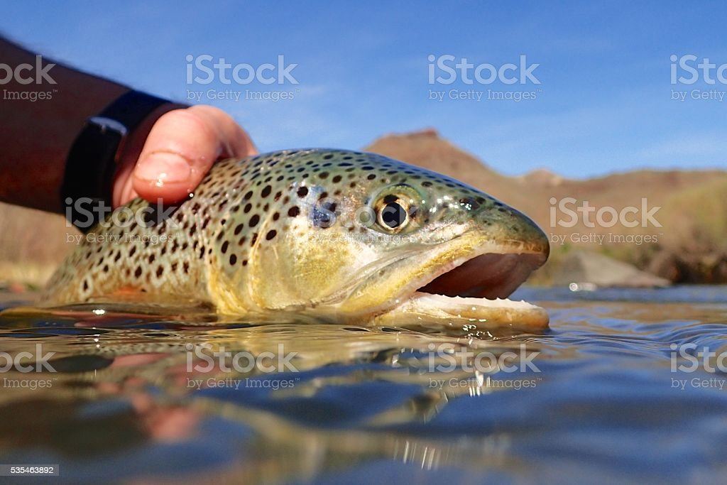 Oregon brown trout  – Foto