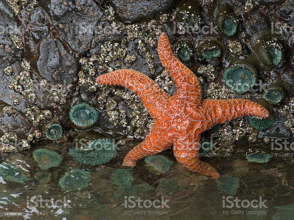 Oregon Coast Tidepool royalty-free stock photo