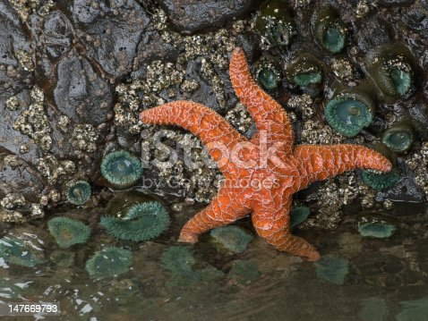 A starfish in a tide pool surrounded by anemones.