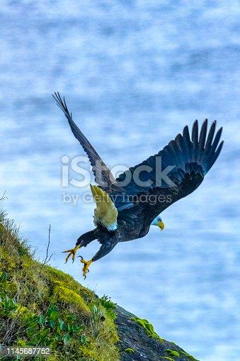 Bald Eagle at cape Perpetua on the Oregon Coast