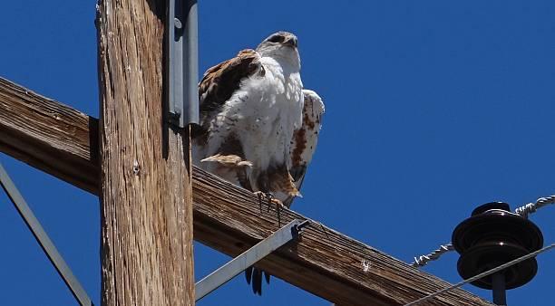 Oregon Desert Eagle Hawk stock photo