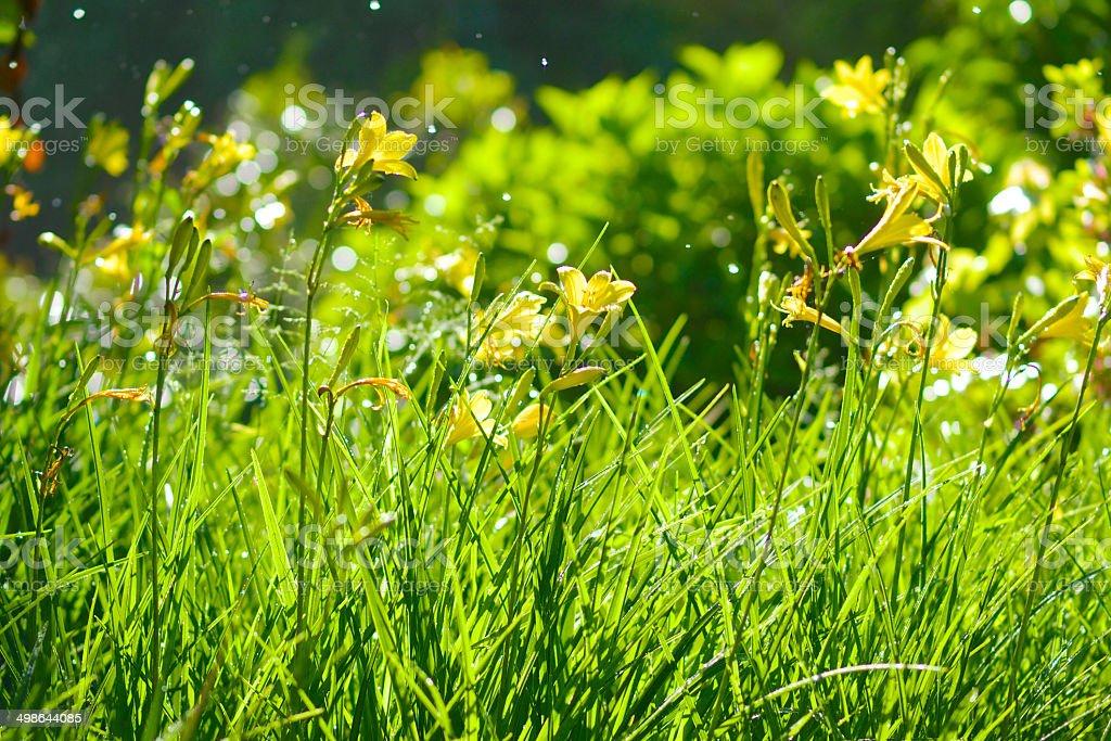 Oregon Garden Hemerocallis Daylily Spots from Water Sprinkler royalty-free stock photo