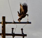 Lower Klamath National Wildlife Refuge.\nSouthern Oregon's Klamath Basin.\nAdult Golden Eagle Launch.