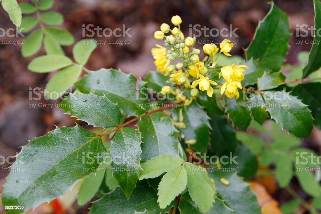 Oregon grape (Mahonia aquifolium) foto