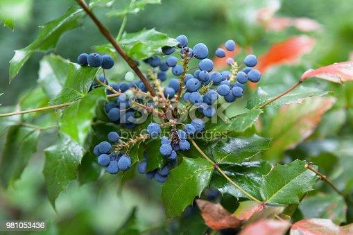 Close-up on the dark bluish-black berries of the Mahonia aquifolium (Oregon grape).