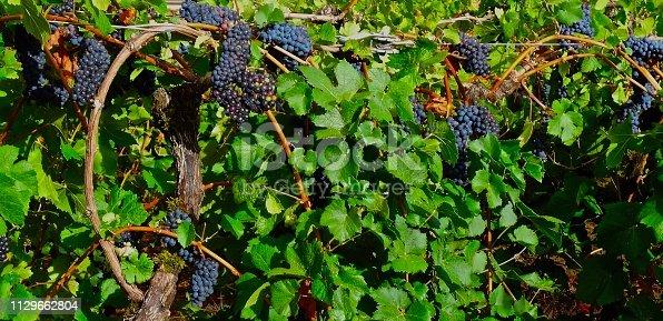 Western Oregon's Willamette Valley. Pinot Noir Grapes.
