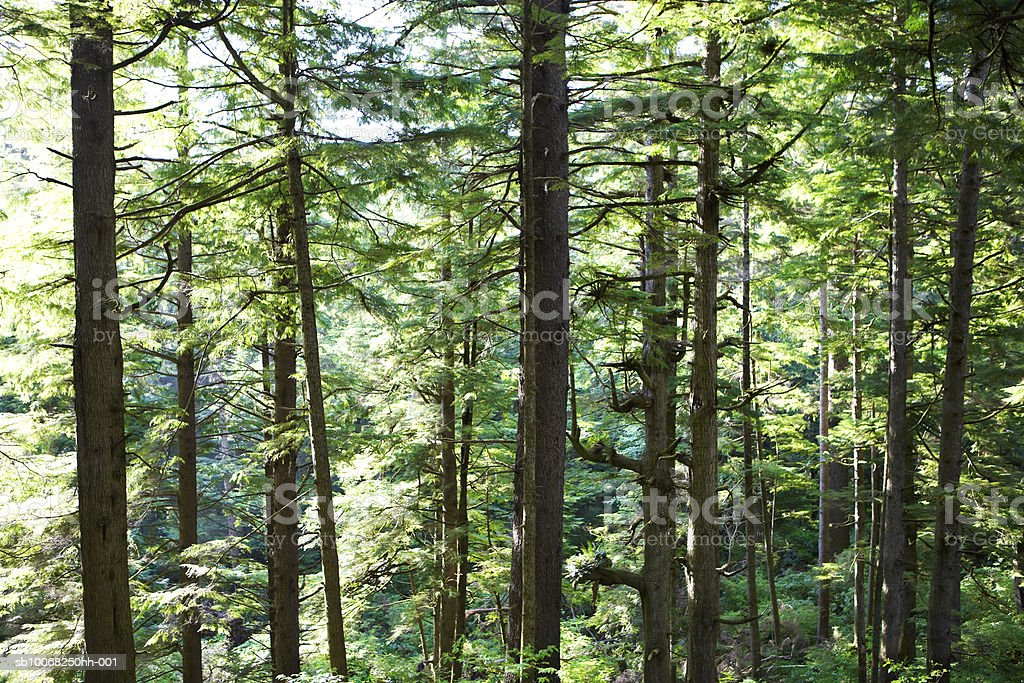 USA, Oregon, Pine trees in rainforest royalty free stockfoto