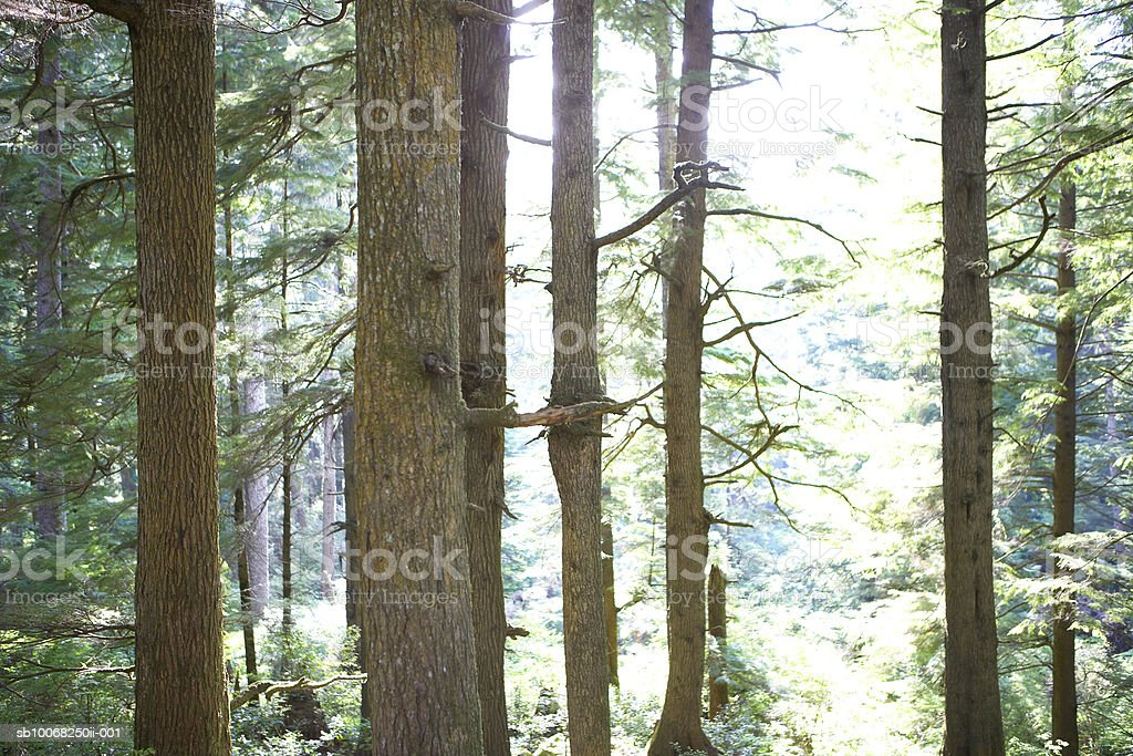 USA, Oregon, Pine trees in rainforest royalty-free stock photo