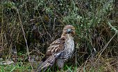 Western Oregon's Willamette Valley.\nFern Ridge Wildlife Refuge.\nRed-Tailed Hawk.