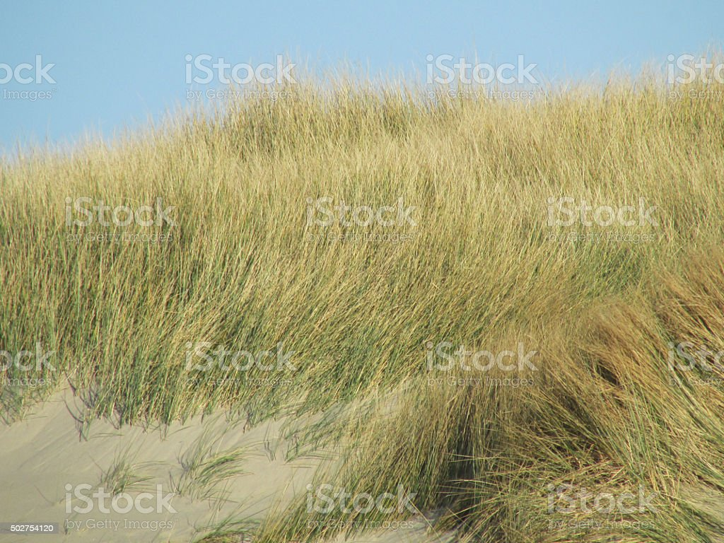 Oregon Sand Dune With Grass stock photo