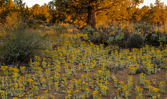 The Oregon Badlands formed from a lava flow from a shield volcano about 80,000 years ago. Oregon Sunshine Wildflowers thrive in the ashy soil.