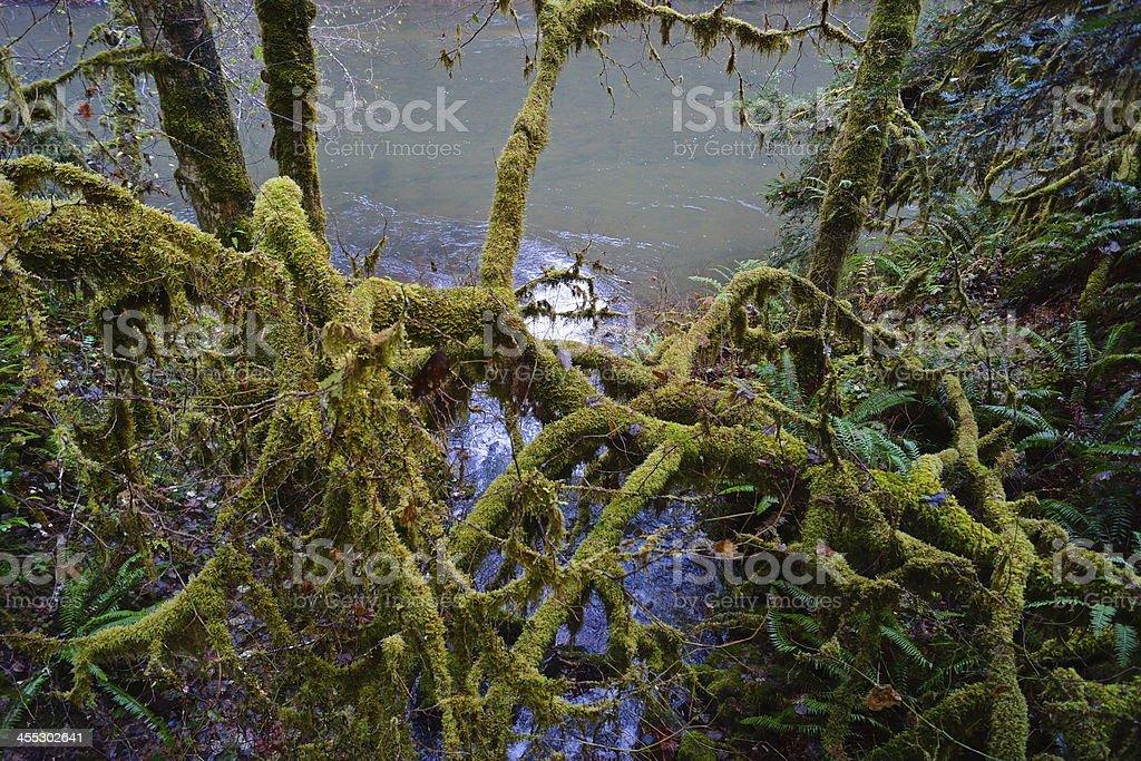 Oregon Tarantula Moss stock photo