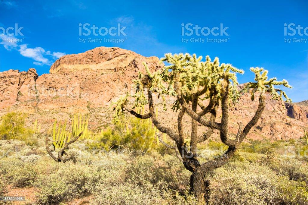 Organ Pipe Cactus National Monument in Arizona's Sonoran Desert - Cholla Tree Cactus Casts a Shadow in the Arid Desert under Brilliant Sky stock photo