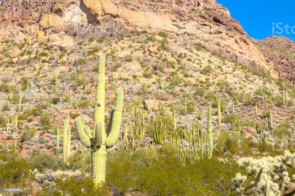 Organ Pipe Cactus National Monument in Arizona's Sonoran Desert - Tall Saguaro Amid a Desert Abundant with Various Types of Cacti stock photo