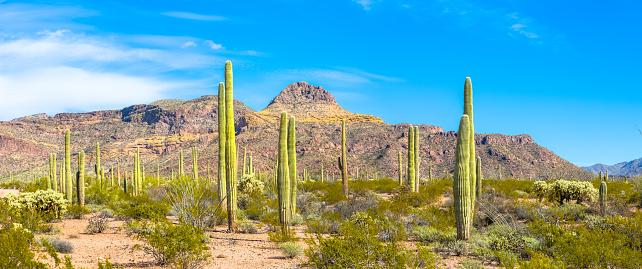 istock Organ Pipe Cactus National Monument - Thriving Cacti, Ajo Mountains, Arid Sonoran Desert Under Blue Sky 873607742