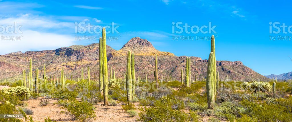 Organ Pipe Cactus National Monument - Thriving Cacti, Ajo Mountains, Arid Sonoran Desert Under Blue Sky stock photo