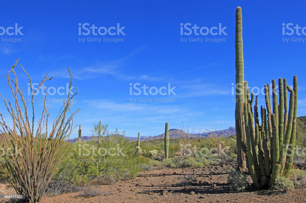 Organ Pipe, Saguaro and Ocotillo cactuses in Organ Pipe Cactus National Monument, Arizona, USA stock photo