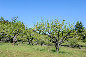 Organic apple orchard with new springtime growth, under clear blue sky.\n\nTaken in Bonny Doon, California, USA.