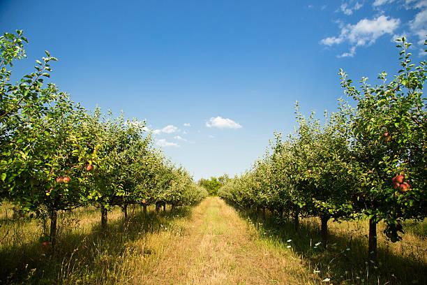 bio apple orchard - obstgarten stock-fotos und bilder