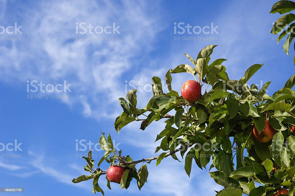 A organic apple tree with a cloudy sky on California royalty-free stock photo