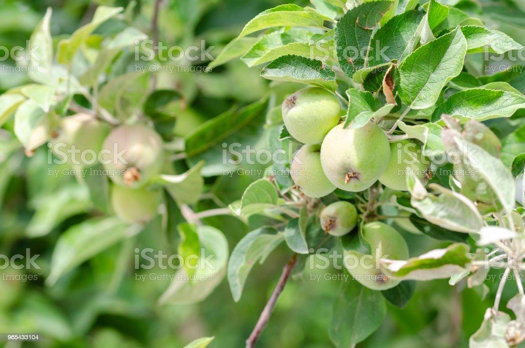 生長在樹上的有機蘋果 - 免版稅之間圖庫照片